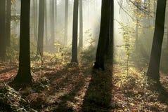 sunbeams för höstskogmorgon Arkivbilder