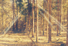Sunbeams falling on the path in autumn forest. On a foggy morning Royalty Free Stock Photography