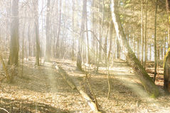 Sunbeams falling on the path in autumn forest. On a foggy morning Royalty Free Stock Photos