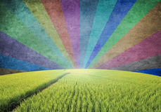 Sunbeams  and field rice. Multicolor Sunbeams grunge background with field rice Stock Image