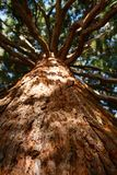 Sunbeams flood the branches and trunk of a giant sequoia tree.  stock photo