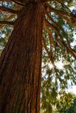 Sunbeams flood the branches and trunk of a giant sequoia tree.  royalty free stock photography