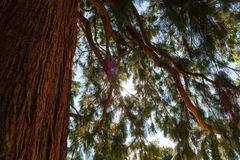 Sunbeams flood the branches and trunk of a giant sequoia tree.  royalty free stock photos