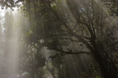 Sunbeams in the fog forest, Madeira. Portugal Royalty Free Stock Photos