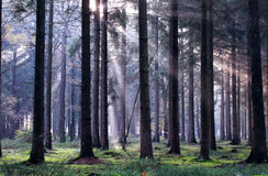 Sunbeams in foggy coniferous forest Stock Photo