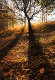 Sunbeams through foggy misty Autumn forest Royalty Free Stock Photos