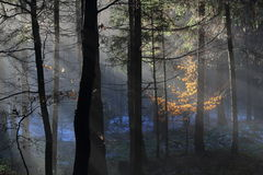 Sunbeams in foggy winter forest Stock Image