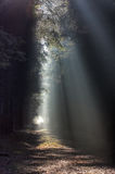 Sunbeams in forest Stock Images