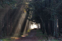 Sunbeams in a forest Royalty Free Stock Photos