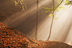 Sunbeams in Forest Royalty Free Stock Photography