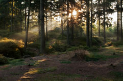 Sunbeams in Forest Stock Image