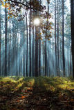 Sunbeams in forest. Blue sunbeams in autumnal forest, mysterious landscape stock images