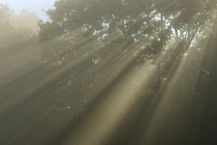 Sunbeams in Forest Royalty Free Stock Photos