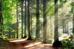 Sunbeams in forest. Sunrays in forest on summer Royalty Free Stock Images