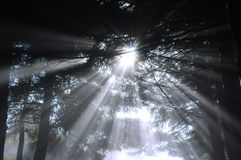 Sunbeams in forest. Sunbeams stock photo