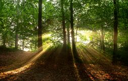 Sunbeams in forest Royalty Free Stock Images
