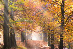 Sunbeams in a forest in autumn Royalty Free Stock Photo