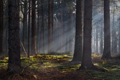 Sunbeams in a forest Stock Images