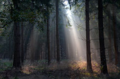 Sunbeams in a forest Royalty Free Stock Images