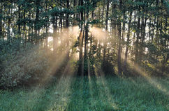 Sunbeams in forest Stock Photo