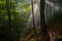 Sunbeams in forest Stock Photography