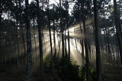 Sunbeams in the forest. In portugal royalty free stock image