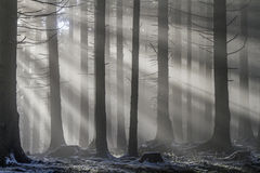 Sunbeams in the forest Royalty Free Stock Images
