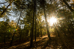 Sunbeams through  forest trees Royalty Free Stock Photography