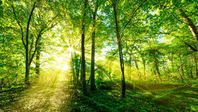 Sunbeams through forest trees. Sunbeams streaming through thick green trees to the ground in a forest in Germany Royalty Free Stock Images