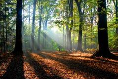 Sunbeams gießen in einen Herbstwald Stockfotografie