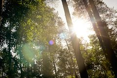 Sunbeams and glare through trees. In the forest royalty free stock image