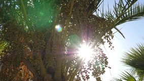 Sunbeams through green branches with date fruit and leaves palm trees