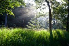 Sunbeams in green forest Royalty Free Stock Photos