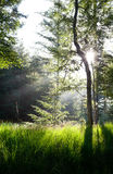 Sunbeams in green forest over spruce Stock Image