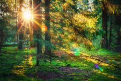 Sunbeams in green forest. Sunny forest nature. Sunlight through trees. Autumn forest landscape in the morning on sunrise. Sunbeams in green forest. Sunny forest Royalty Free Stock Photo