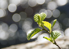 Sunbeams and green shoot. The young shoot on the background of sunbeams Stock Photography