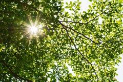 Sunbeams i liści tła bell świątecznej element projektu Zdjęcia Stock