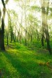 Sunbeams im Wald Lizenzfreie Stockfotografie
