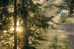 Sunbeams im Wald Stockfotografie