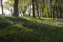 Sunbeams lighting up the beautiful bluebells and green ancient forest. On a morning walk I was fortunate to walk through this beautiful ancient forest stock images