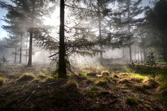 Sunbeams in morning misty forest Stock Image