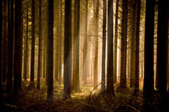 Sunbeams mornos através de uma floresta Fotografia de Stock Royalty Free