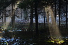 Sunbeams into mystery forest Royalty Free Stock Photo