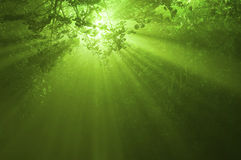 Sunbeams in mystical forest Stock Image