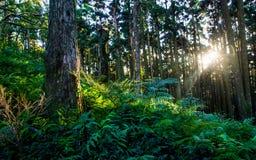 Sunbeams na floresta Fotos de Stock