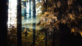 Sunbeams nalewają przez drzew w lesie, lekcy promienie Zdjęcia Stock
