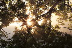 Sunbeams through oak tree branch Royalty Free Stock Image