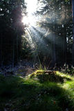 Sunbeams in old coniferous forest Royalty Free Stock Photography
