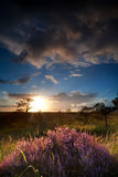 Sunbeams over flowering heather Stock Photography