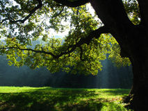 Sunbeams passing trough tree leaves Stock Photo